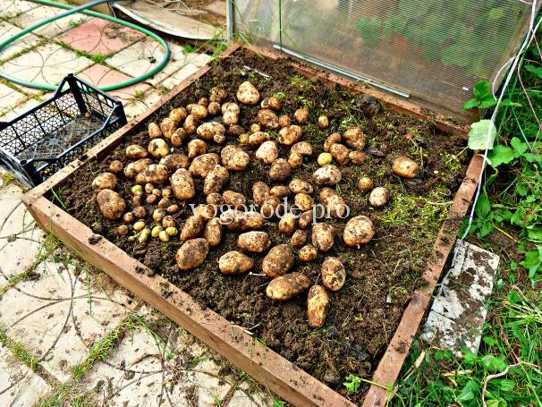 Выращивание картофеля из ростков. Бесклубневая посадка картофеля.