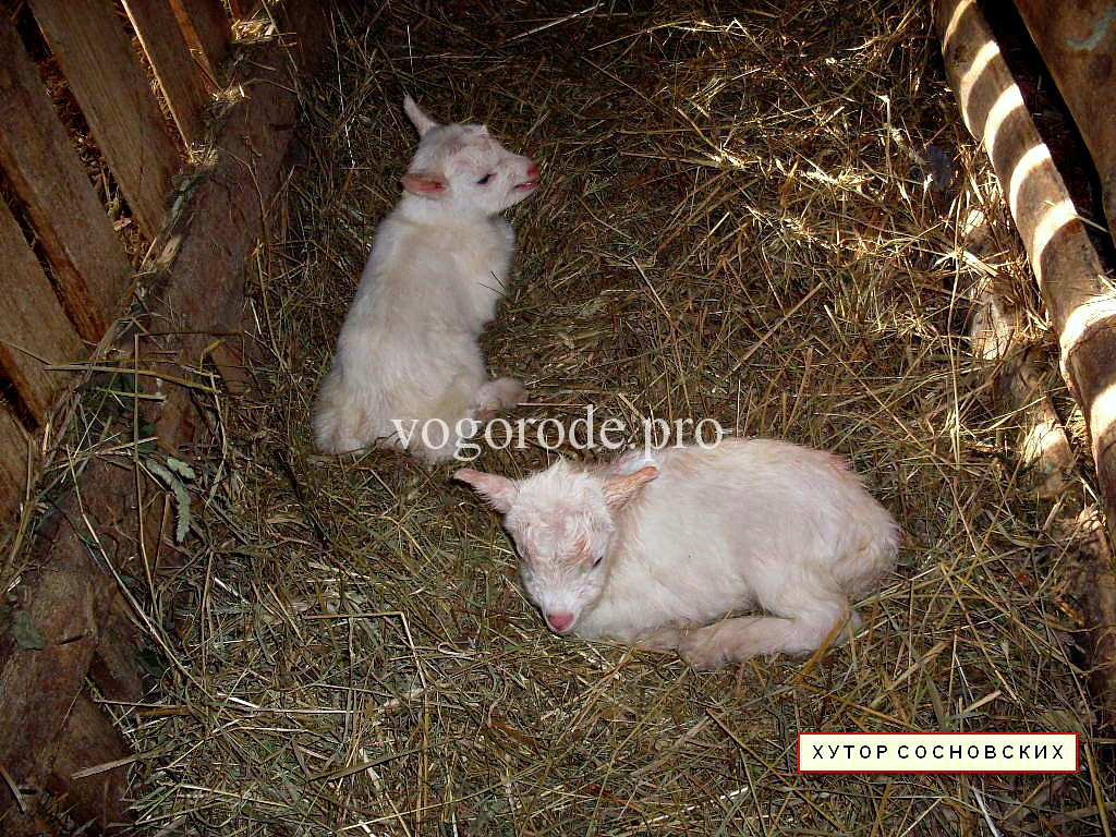 Правильное кормление козлят – залог высоких удоев в будущем.