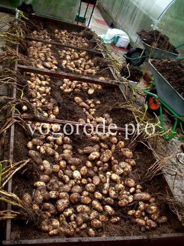 Выращивание картофеля в грядках-коробах. 90кг с 5 кв.м.