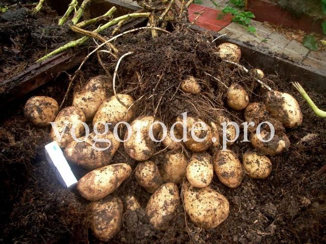 Выращивание картофеля. мульчирование травой