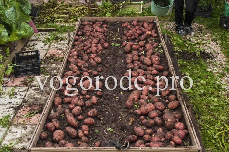 урожай картофеля с грядки