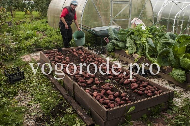 урожай картофеля с площади 3 кв.м.