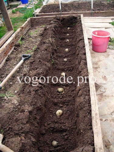 Выращивание картофеля на грядке.