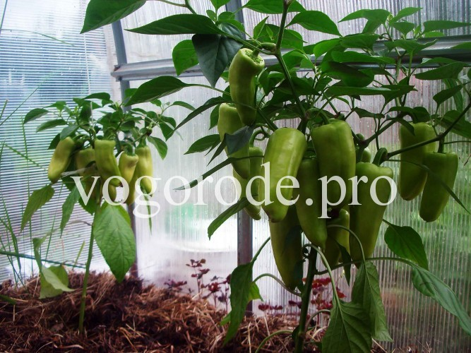 Выращивание перца с применением Вермикофе