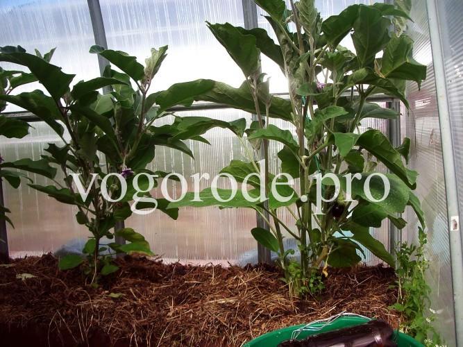 Выращивание баклажанов с применением вермикомпоста и Вермикофе