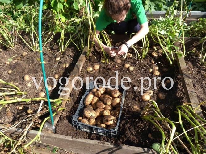 урожай картофеля с куста