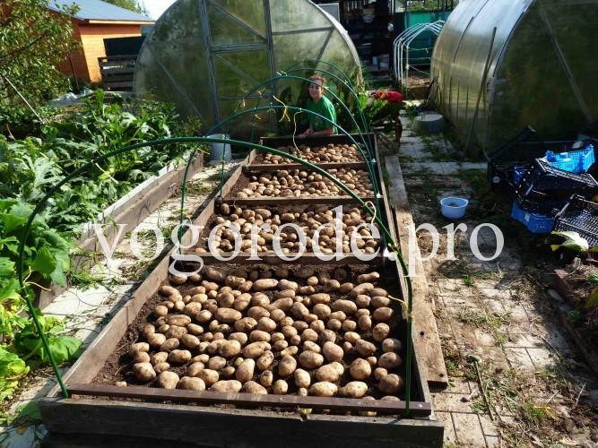Выращивание картофеля, грядка-короб, мульчирование, урожай с площади