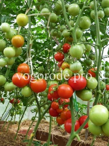 выращивание помидоров, детерминантный сорт, индетеминантный сорт