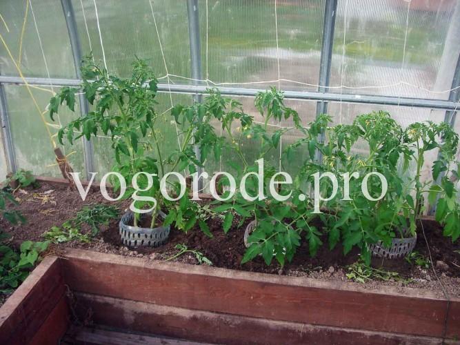 Ранний урожай помидоров, ранние помидоры, рассада помидоров