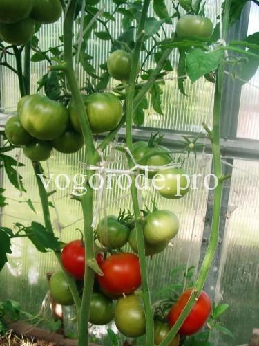 ранний-урожай-помидоров