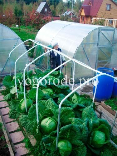 выращивание-капусты