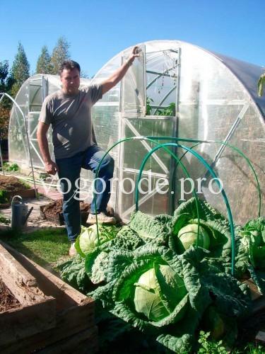 выращивание-поздней-капусты