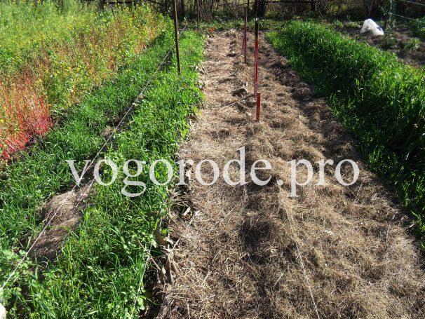 Мульчирование чеснока сеном и листьями