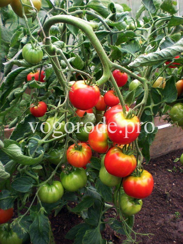 Выращивание помидоров в холодном и дождливом климате