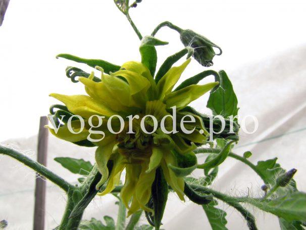 Форма цветка томата может быть разной.