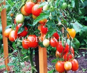 Семена томатов собранные с гибридов F1.