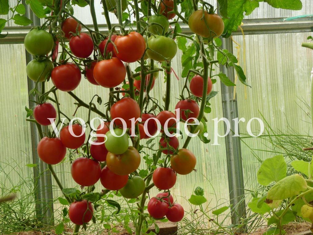 Как защитить помидоры от фитофтороза, профилактика фитофтороза.