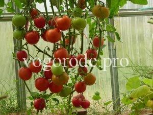 Как защитить помидоры от фитофтороза.