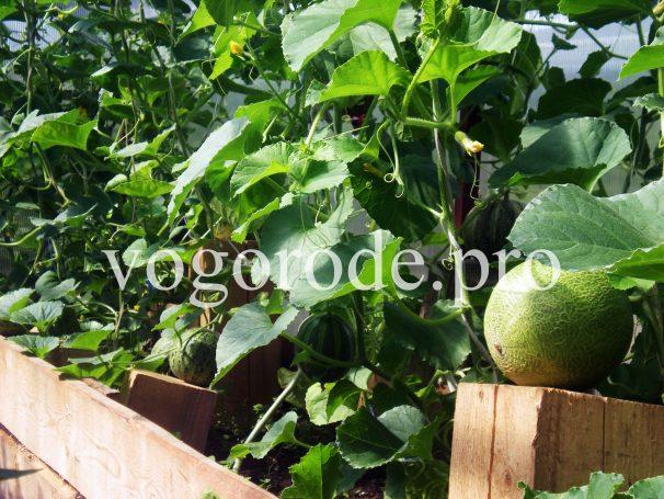 Выращивание дыни на шпалере