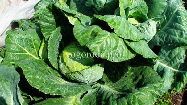 Выращивание капусты на Урале под укрывным материалом и без него.