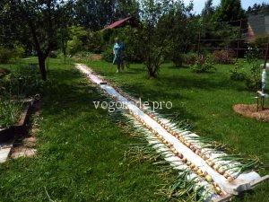 Выращивание лука на малой площади.