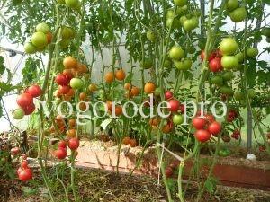 Посадка семян помидоров с гибрида F1. Эксперимент.
