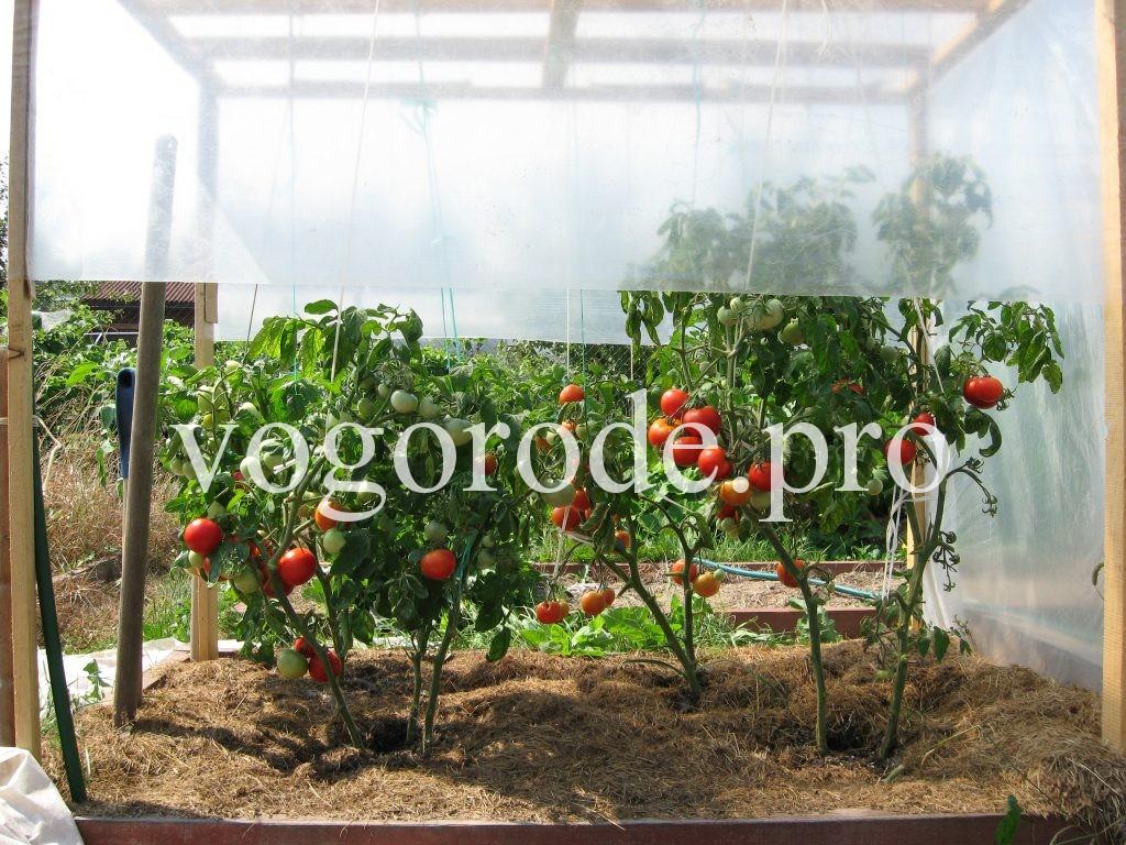 Как защитить помидоры от фитофтороза. Профилактика фитофтороры
