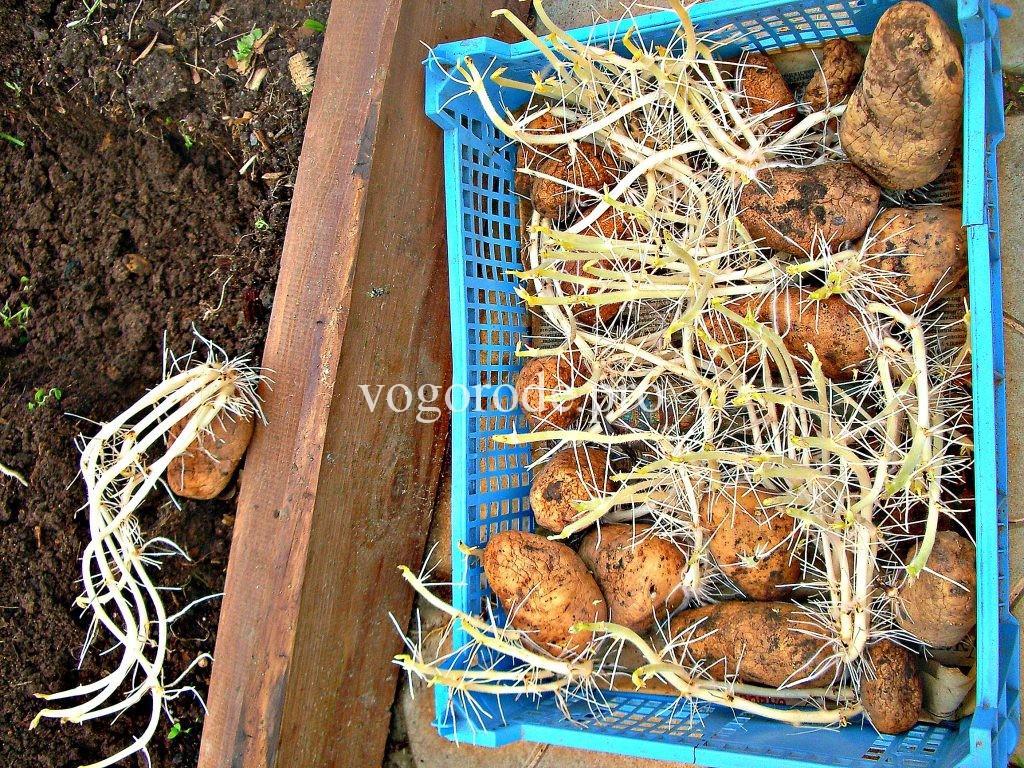 Проращивание раннего картофеля.