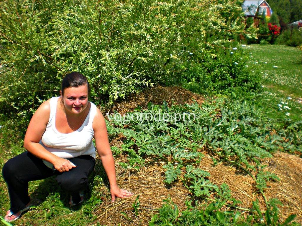 Выращивание арбузов в Подмосковье