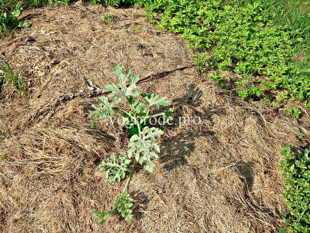 Выращивание арбузов в Московской области.