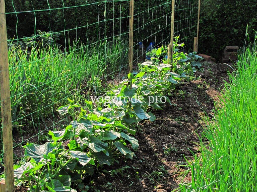 Выращивание огурцов на шпалер 322