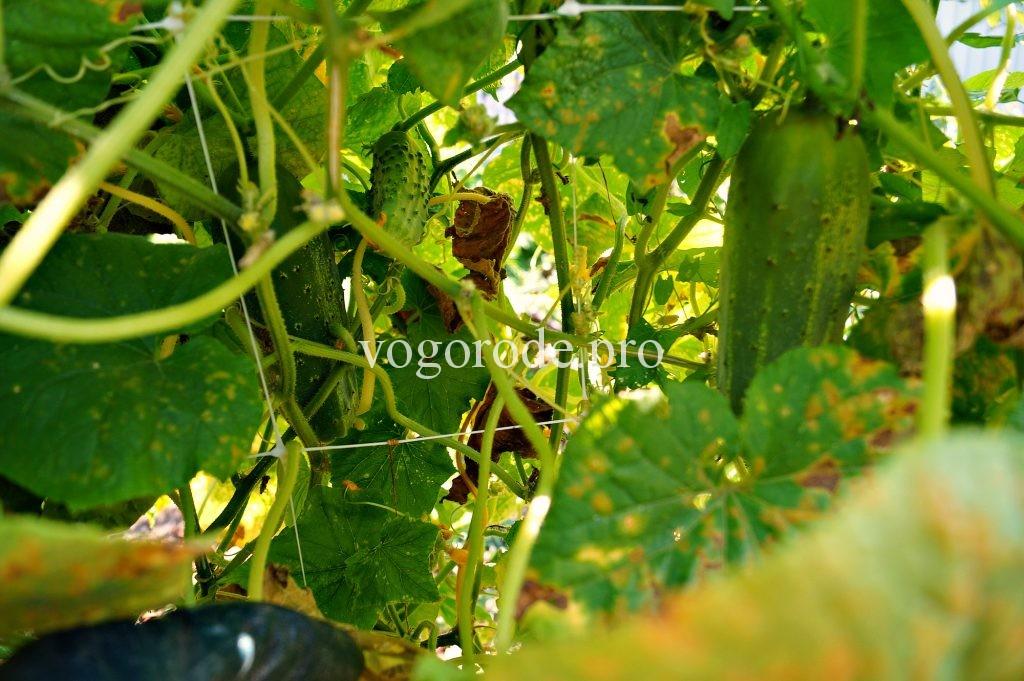 Выращивание огурцов на шпалере.