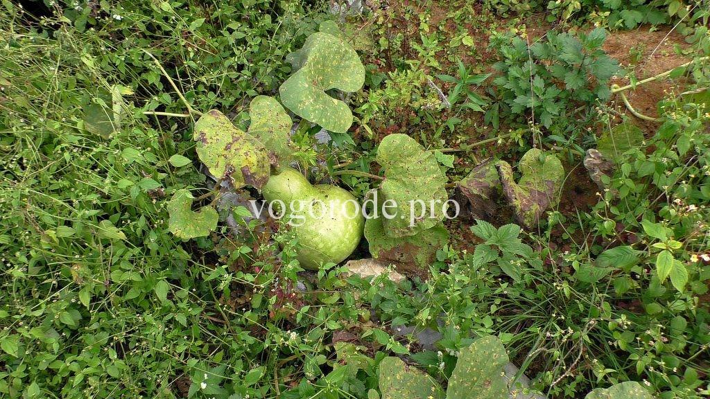 Выращивание лагенарии на семена.