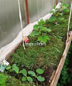 Выращивание огурцов в теплице Ленинградской области.