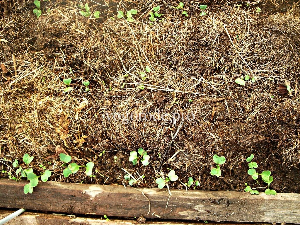 Выращивание раннего редиса.