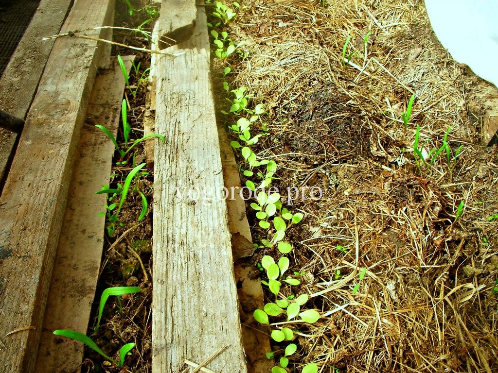 выращивание раннего салата и шпината.
