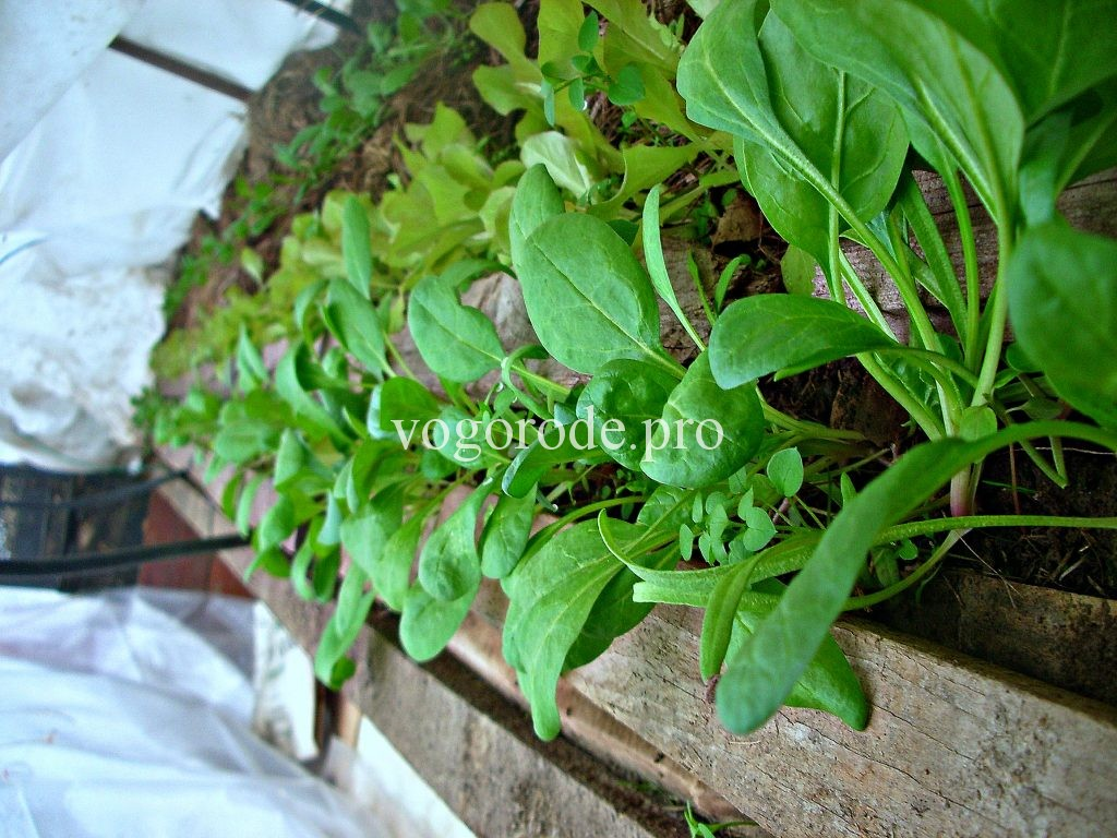 Выращивание ранних салата и шпината.