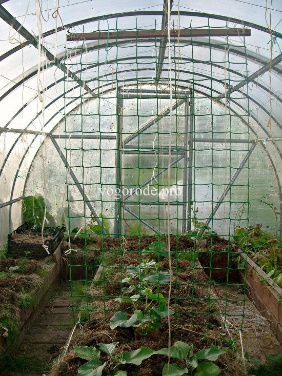 Выращивание дыни в теплице.