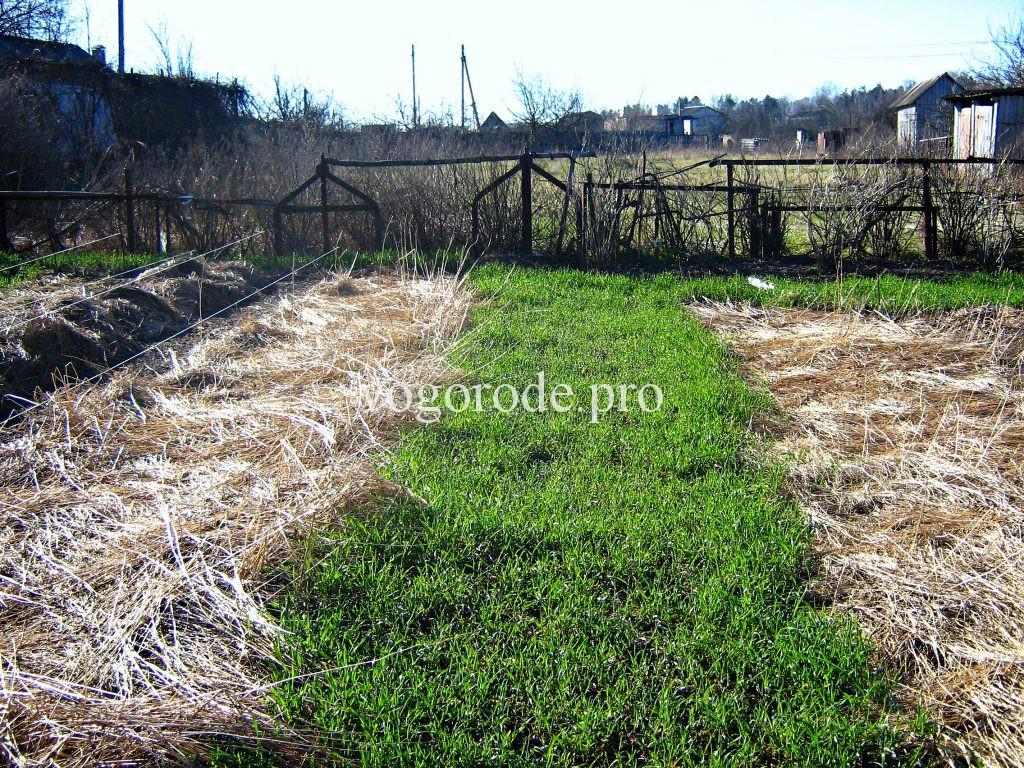 Повышение плодородия почвы использованием сидератов.