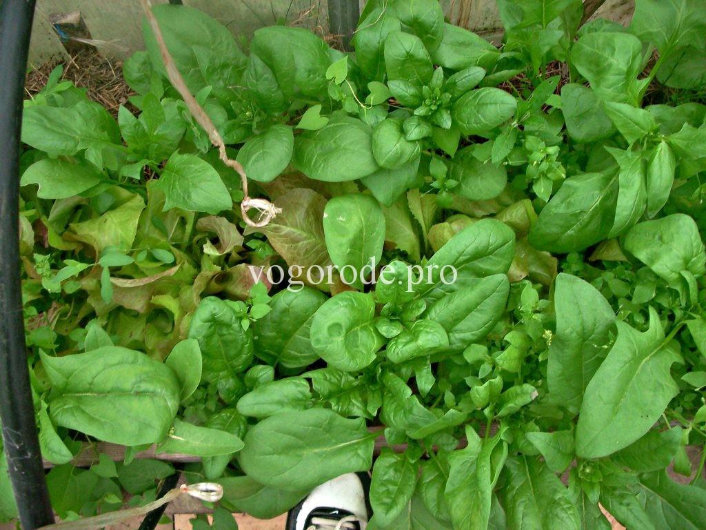 Выращивание раннего редиса, салата, шпината в теплице.