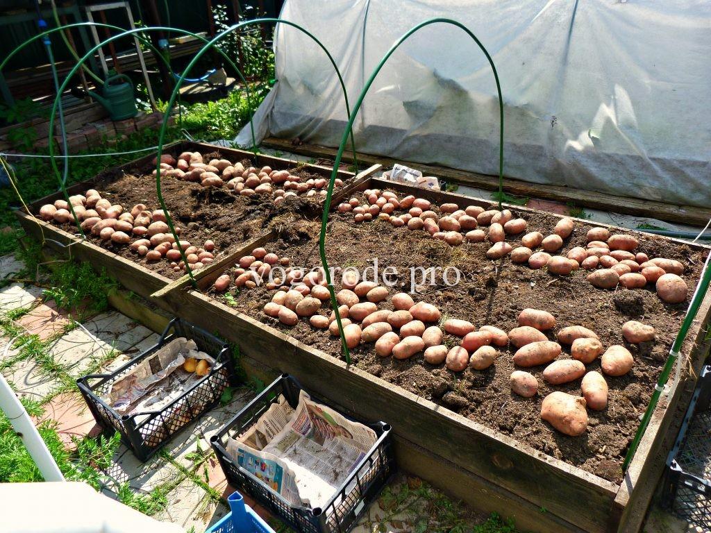 Выращивание раннего картофеля.