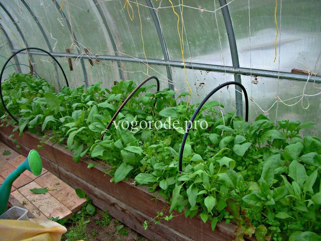 Салат и шпинат 10 мая.