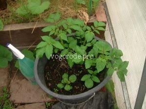 Выращивание картошки в ведре. Эксперимент.