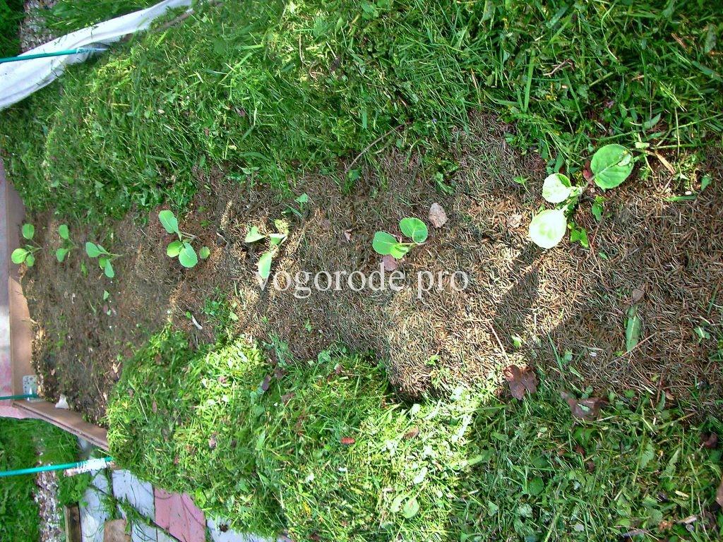 Выращивание ранней капусты.