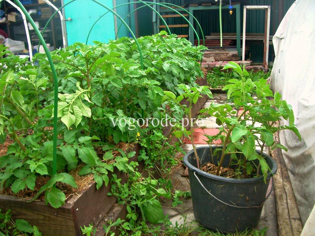 Выращивание картошки в ведре. Эксперимент