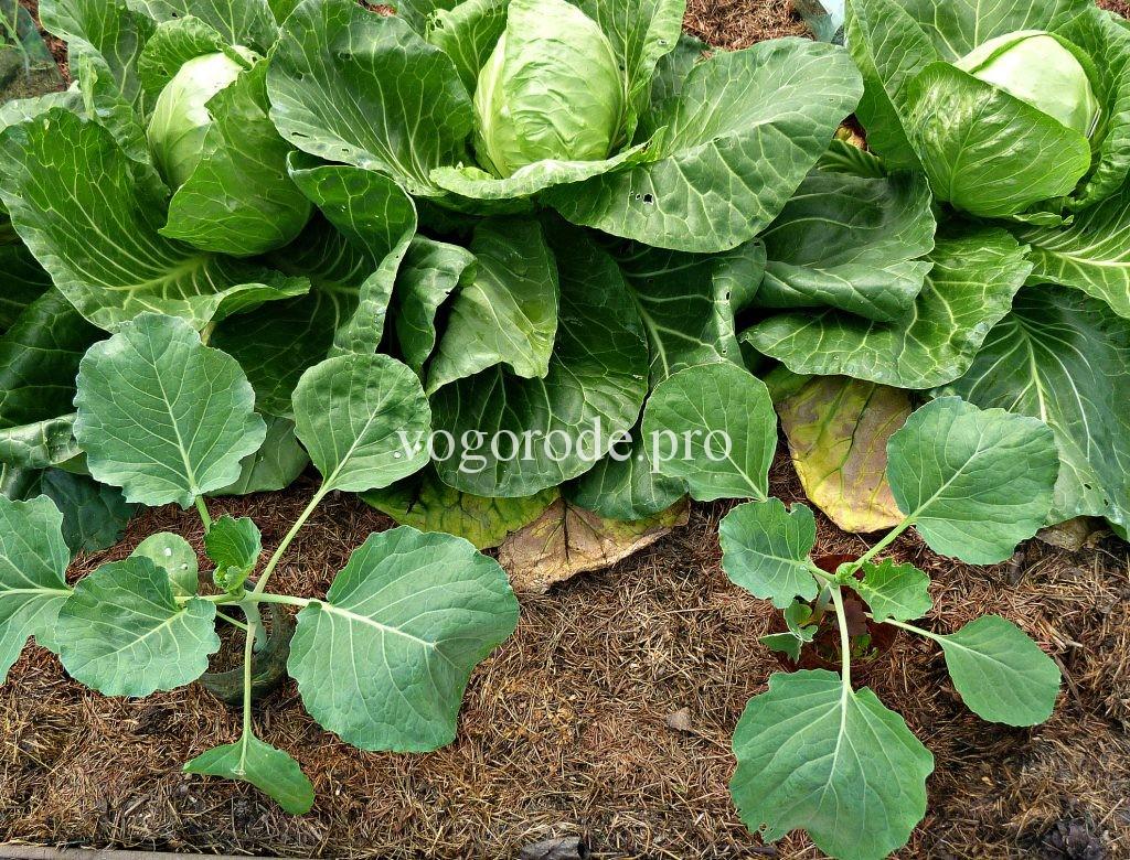 Совместное выращивание ранней и поздней капусты на одной грядке.