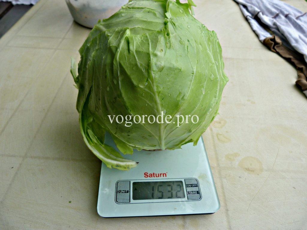 Выращивание ранней капусты. Выращивание рассады ранней капусты в теплице.