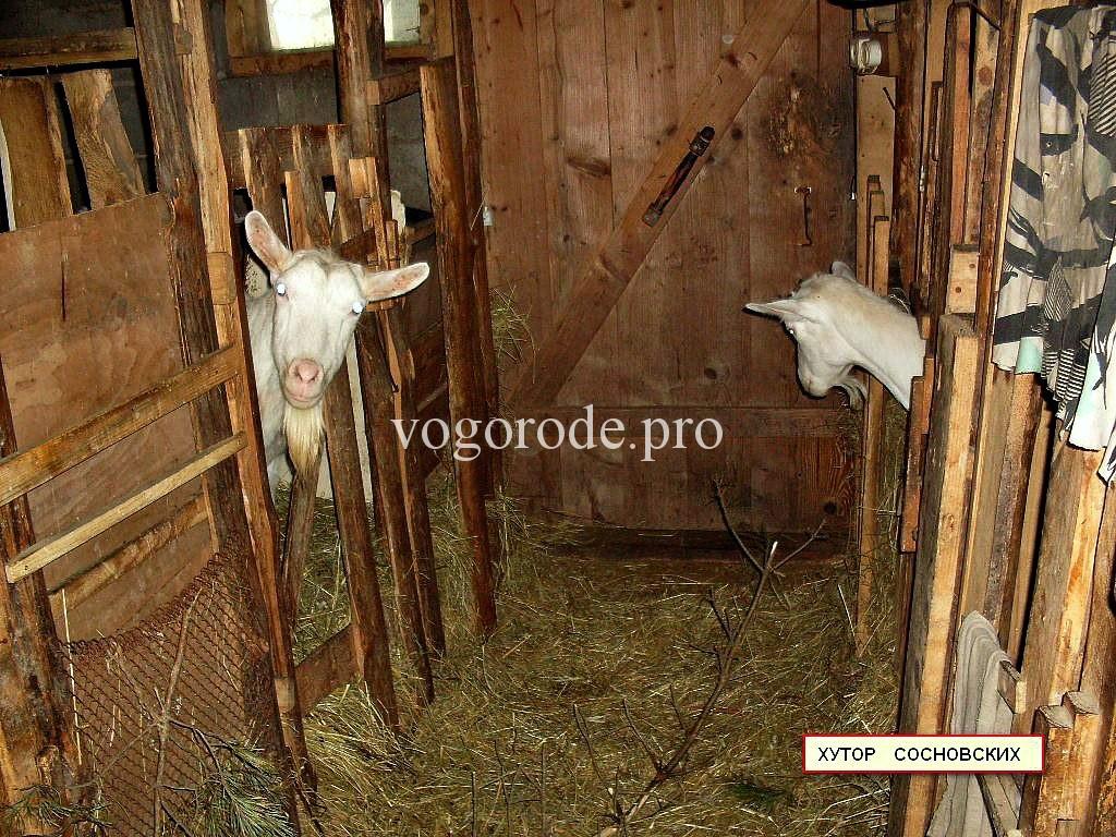 Сарай для содержания коз, полы в сарае, кормушки для коз