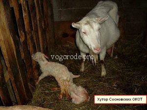 Окот козы. Признаки окота. Рождение козлят.
