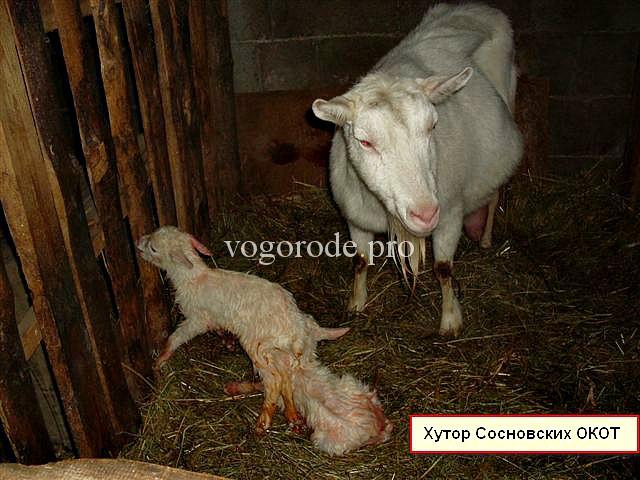 Новорожденные козлята с мамой.